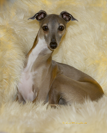 Greyhound with peeing issues
